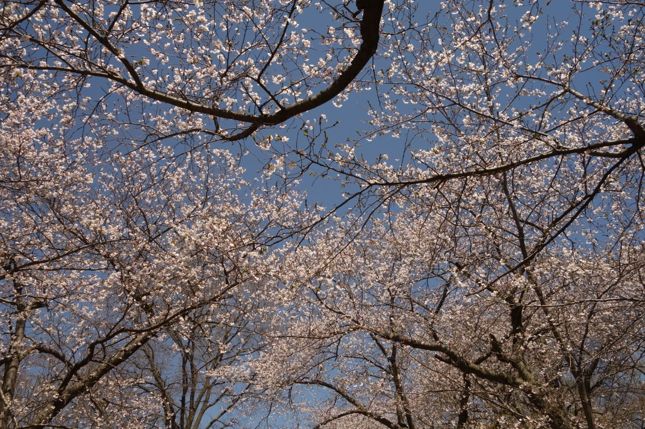 Sunday in High Park with sakura (May 11, 2014) | Biking in a Big City